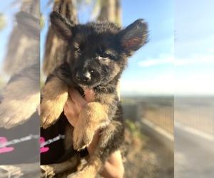 German Shepherd Dog Dog for Adoption in DEL ROSA, California USA
