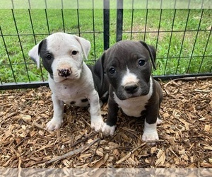 American Pit Bull Terrier Dogs for adoption in PIEDMONT, MO, USA