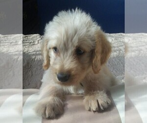Labradoodle Puppies for Sale near 41017, USA, Page 1 (10 per