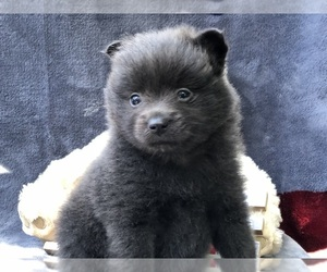 Pomeranian Puppy for sale in CLAY, PA, USA