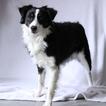Australian Shepherd Puppy For Sale in GAP, PA,