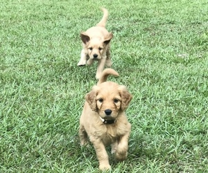Goldendoodle Dog for Adoption in TALLAHASSEE, Florida USA
