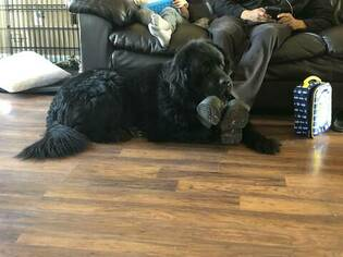 Father of the Newfoundland puppies born on 01/19/2019