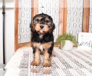 Cavachon Puppy for sale in NAPLES, FL, USA