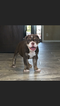 Olde English Bulldogge Puppy For Sale in EL PASO, TX,