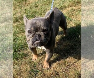 French Bulldog Dog for Adoption in NAPPANEE, Indiana USA