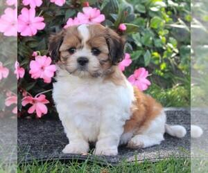 Zuchon Puppy for sale in MORGANTOWN, PA, USA