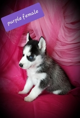 Siberian Husky Puppy For Sale in EXCELLO, MO, USA
