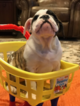 Bulldog Puppy For Sale in QUINLAN, Texas,