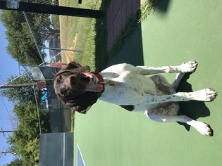 German Shorthaired Pointer Dog For Adoption in AUSTIN, TX