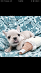 French Bulldog Puppy For Sale near 02151, Revere, MA, USA