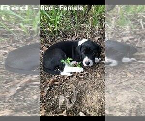 Great Dane Puppy for sale in MAGNOLIA, TX, USA