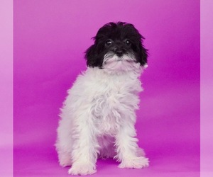 Poodle (Toy)-Shorkie Tzu Mix Puppy for Sale in WARSAW, Indiana USA
