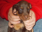 Doberman Pinscher Puppy For Sale in MEXICO, MO