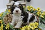 Cock-A-Poo Puppy For Sale in FARMINGTON, MO, USA