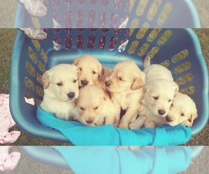 Golden Retriever Puppy for sale in FERRUM, VA, USA