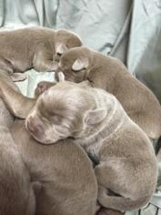 Labrador Retriever Puppy For Sale in DUBLIN, TX