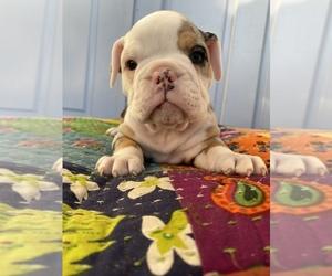 Bulldog Puppy for sale in EASTVALE, CA, USA