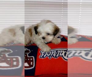 Shih Tzu Puppy for sale in BELL, FL, USA