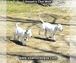Small Photo #192 Dogo Argentino Puppy For Sale in PINEVILLE, MO, USA