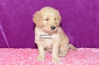 Goldendoodle Puppy For Sale in MILLERSBURG, IN, USA