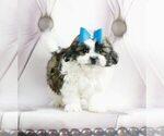 Puppy 1 Maltese