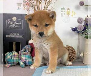Shiba Inu Dog for Adoption in DALLAS, Texas USA