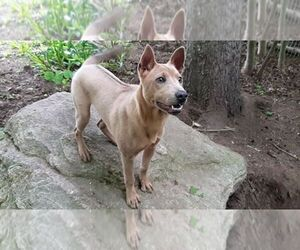 Thai Ridgeback Dog for Adoption in Owen Sound, Ontario Canada
