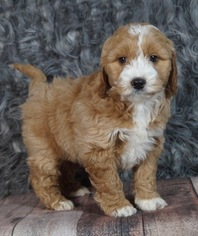 Golden Retriever-Poodle (Toy) Mix Puppy For Sale in WARSAW, IN, USA