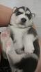 Siberian Husky Puppy For Sale in ORLANDO, FL,