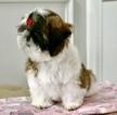 Shih Tzu Puppy For Sale near 30518, Buford, GA, USA