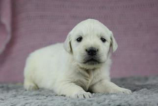 Golden Retriever Puppy for sale in FLAT ROCK, IL, USA