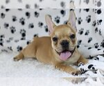 Small Photo #4 French Bulldog Puppy For Sale in OLD WESTBURY, NY, USA