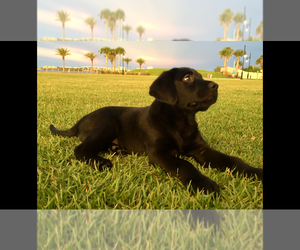 Labrador Retriever Dog for Adoption in PORT ORANGE, Florida USA