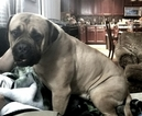 Bullmastiff Puppy For Sale in GARNER, NC, USA