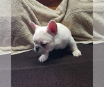 Small Photo #2 French Bulldog Puppy For Sale in WEST PLAINS, MO, USA