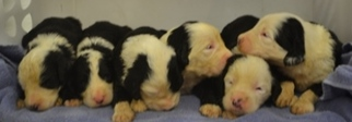 Sheepadoodle Puppy for sale in BURTRUM, MN, USA