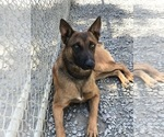 Small Photo #3 Belgian Malinois Puppy For Sale in VACAVILLE, CA, USA