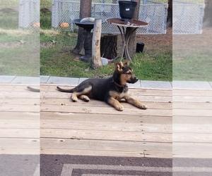 Australian Shepherd-German Shepherd Dog Mix Puppy for sale in LA PINE, OR, USA