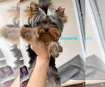 Small #24 Yorkshire Terrier