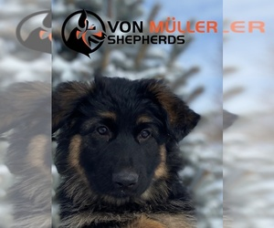 German Shepherd Dog Puppy for Sale in PUEBLO, Colorado USA