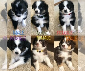 Miniature Australian Shepherd Puppy for Sale in WOODLAND PARK, Colorado USA
