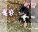 Puppy 7 Bordernese