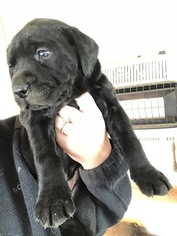 Mastador Puppy For Sale in MONTGOMERY, IN, USA