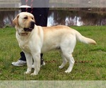 Labrador Retriever Puppy For Sale in SOUTHMONT, NC, USA