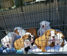 Bulldog Puppy For Sale in SPENCER, TN