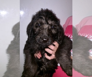 Labradoodle Puppy for sale in BUXTON, ND, USA