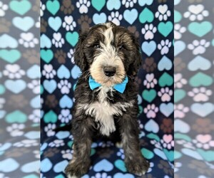 Sheepadoodle Puppy for sale in PORT DEPOSIT, MD, USA