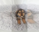 Small Photo #5 Yorkie Russell Puppy For Sale in OTTAWA, OH, USA