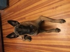 Belgian Malinois Dog For Adoption in LYNCHBURG, VA, USA
